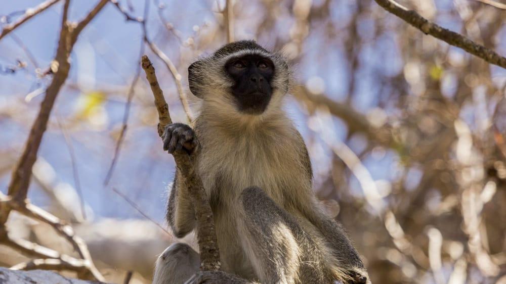 Vervet monkey at a tree nacala uobonn