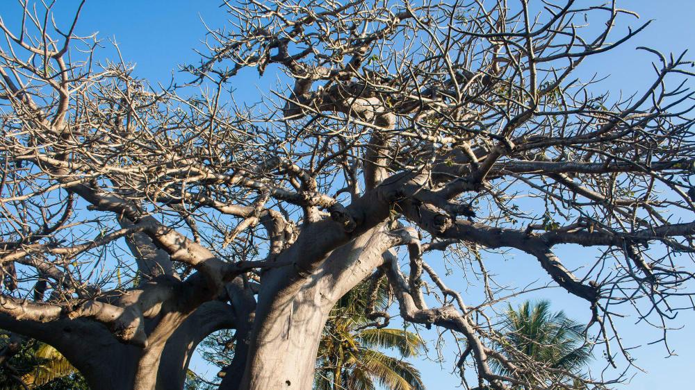 Baobab tree tete province e1ke5a