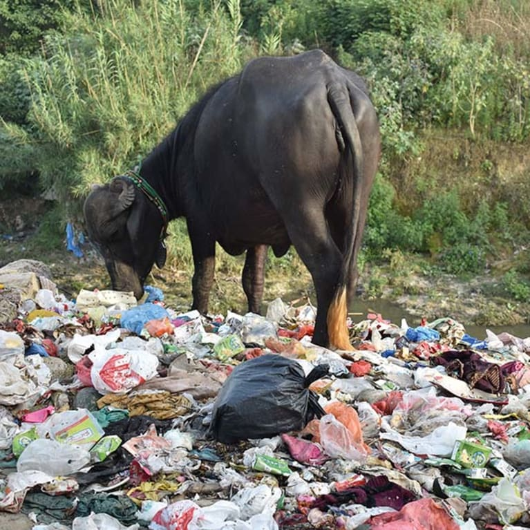 Plastic waste can cause health problems for animals, such as this buffalo. Photo: Liaqat Gill/Pak Mission Society