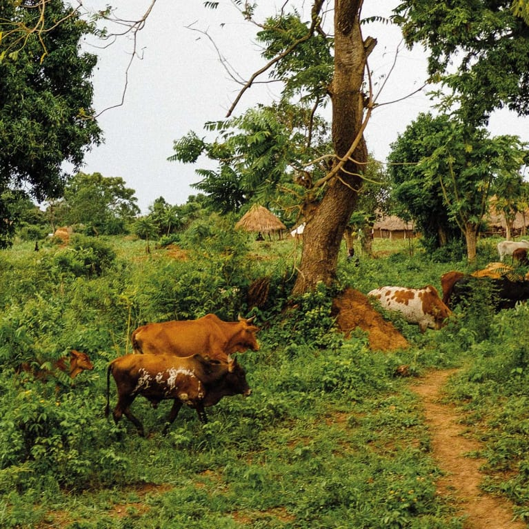 Cattle grazing bushes and trees produce less methane than animals grazing on grass. Photo: Andrew Philip/Tearfund