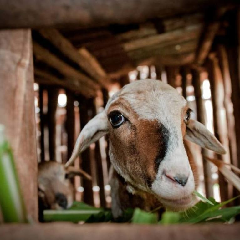 Zero grazed goats in Rwanda provide milk, meat and valuable manure for the fields. Photo: Will Boase/Tearfund
