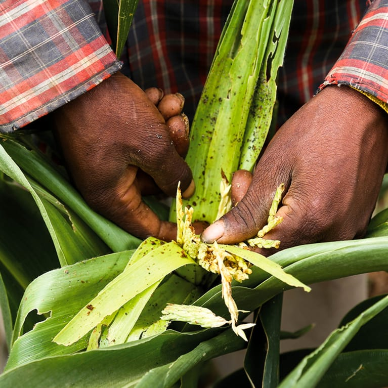 An infestation of fall armyworm has devastated this maize crop.