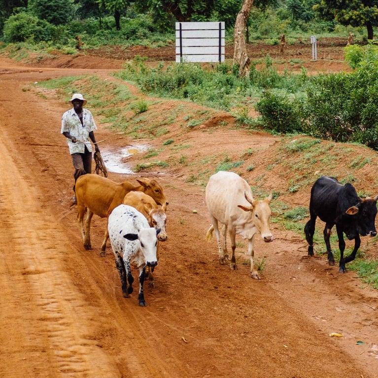 Man herding cattle along a rural road in Uganda.