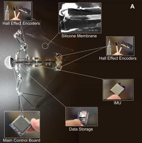 Bat Bot - Researchers Unveil An Autonomous Robot That Copy A Bat's Flight