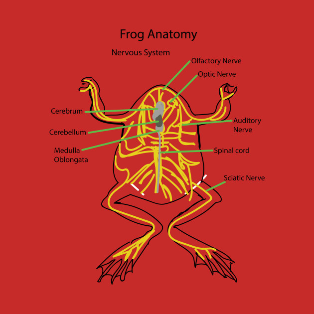 frog nervous system essay Subject: nervous system university/college: university of arkansas system type of paper: essay the purpose of this experiment was to examine how the compound action potentials propagate down the sciatic nerve of a frog based on varying stimuli.