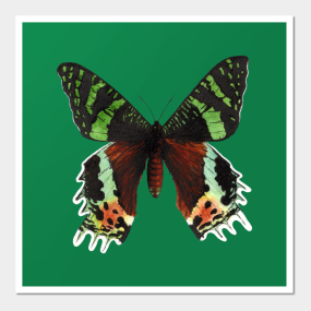 Urania Ripheus Butterfly Wall Art