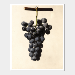 Wine Grapes Posters And Art Prints Teepublic