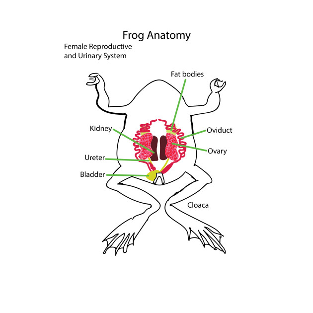 Frog Anatomy Reproductive System Female Female T Shirt Teepublic