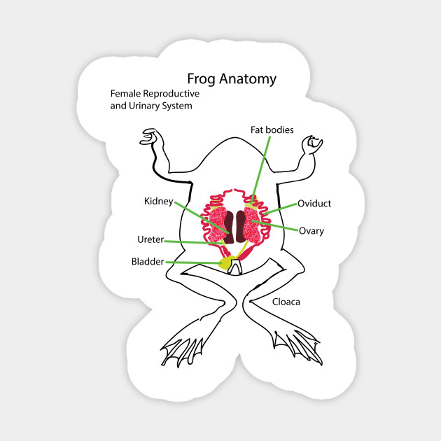 Frog Anatomy Reproductive System Female Female Sticker Teepublic