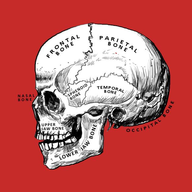 skull - anatomy