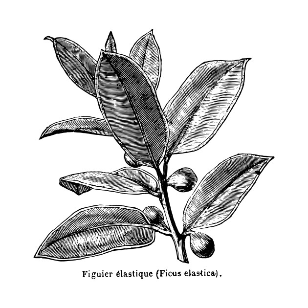 Ficus elastica (Rubber Tree) - Black Print