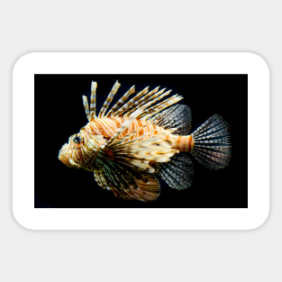 LOBSTER SEALIFE FISH DECAL STICKER DON RAY