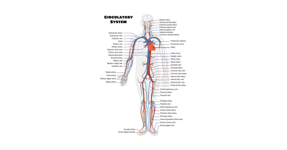Digital Artery Anatomy Choice Image - human body anatomy