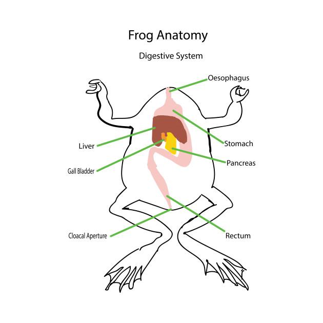 Frog Anatomy Digestive System