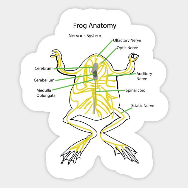 Frog Anatomy Nervous System Nervous Sticker Teepublic