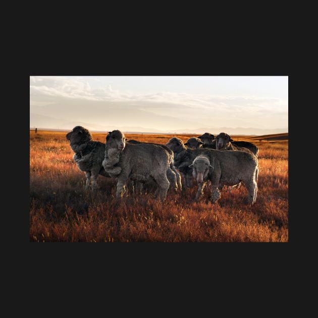 Merino Sheep in the Sunset