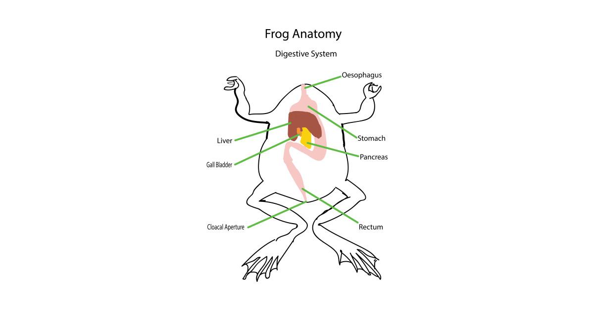 Frog anatomy digestive system stomach mouth mug teepublic ccuart Images