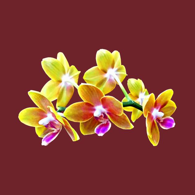 Orchid - Phalaenopsis Orchid Taida Pride Cupid
