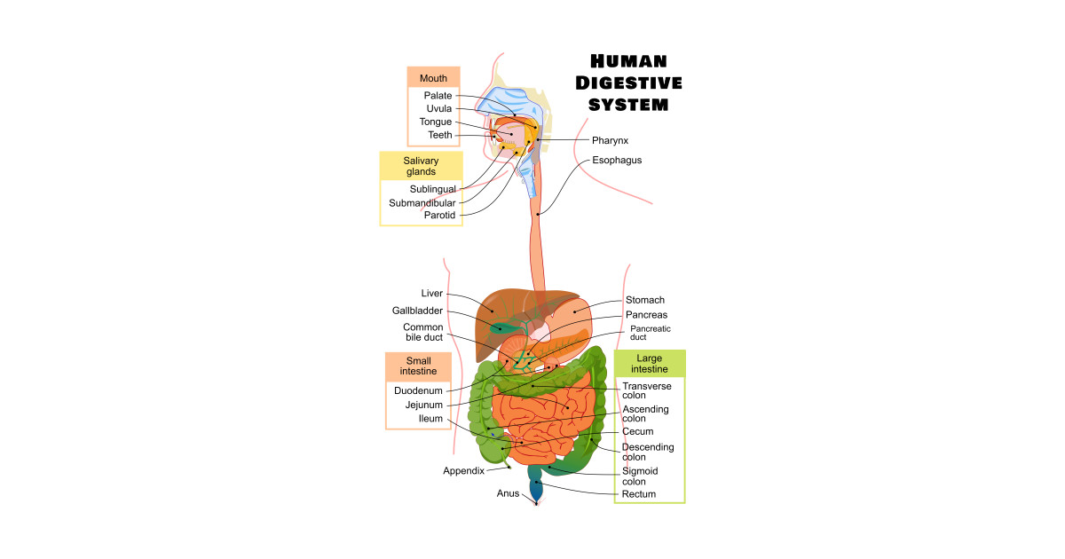 Diagram of the Human Digestive System by sovereign120