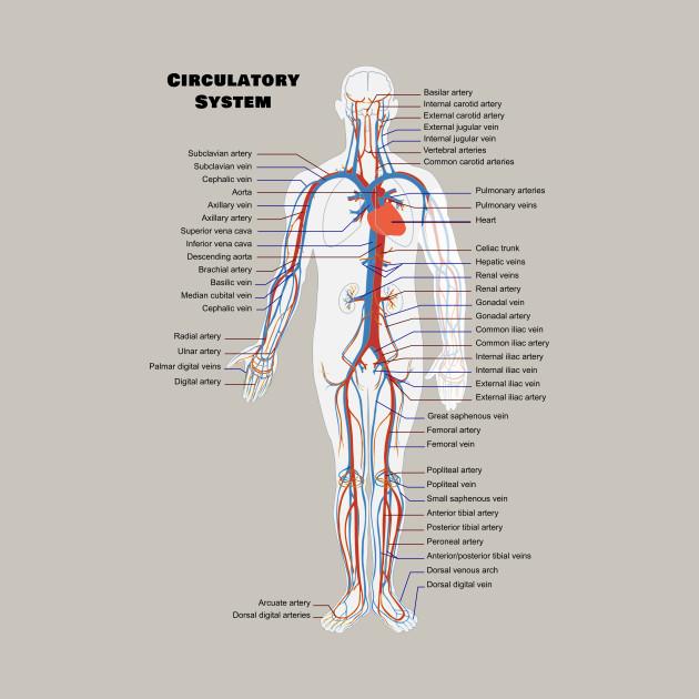 Human Circulatoy System Chart - Biology - T-Shirt | TeePublic