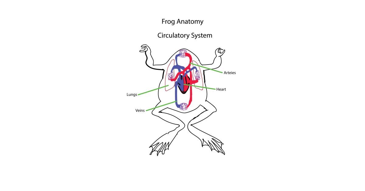 Frog Anatomy Circulatory System Heart T Shirt Teepublic
