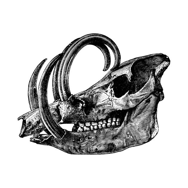 Babirusa Skull