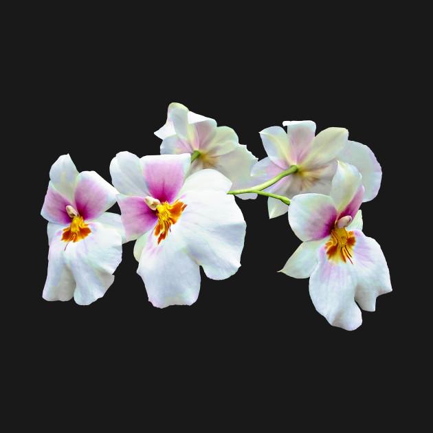 Orchid Miltoniopsis Florentine