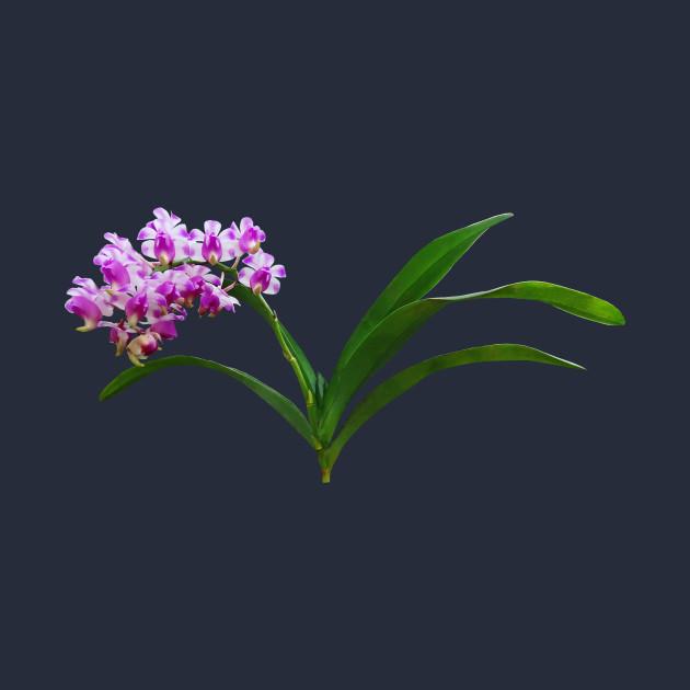 Orchids - Aerides Lawrenciae X Odorata Orchid