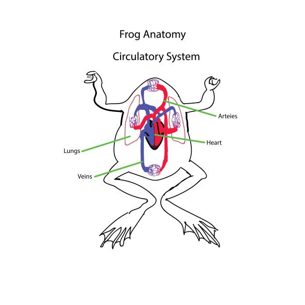 frog anatomy- circulatory system - heart