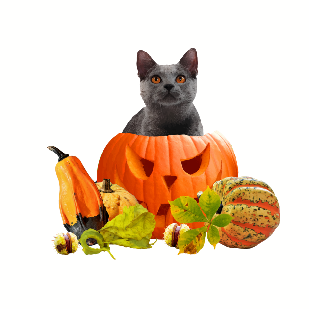 happy halloween pumpkin grey cat