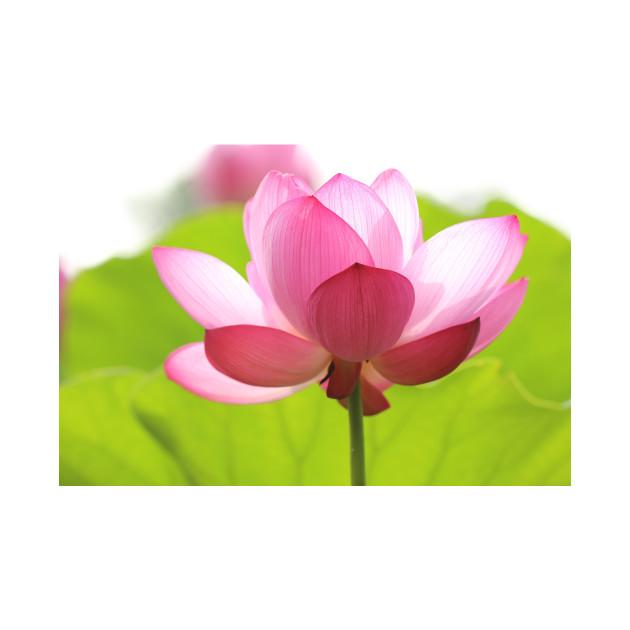 Pink Lotus Flower Lotus Flower T Shirt Teepublic