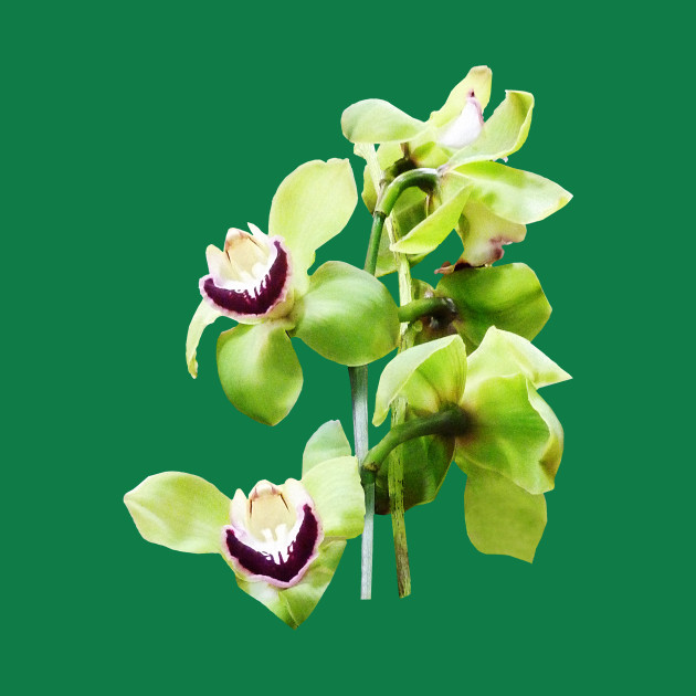 Orchids - Green Cymbidium Orchids