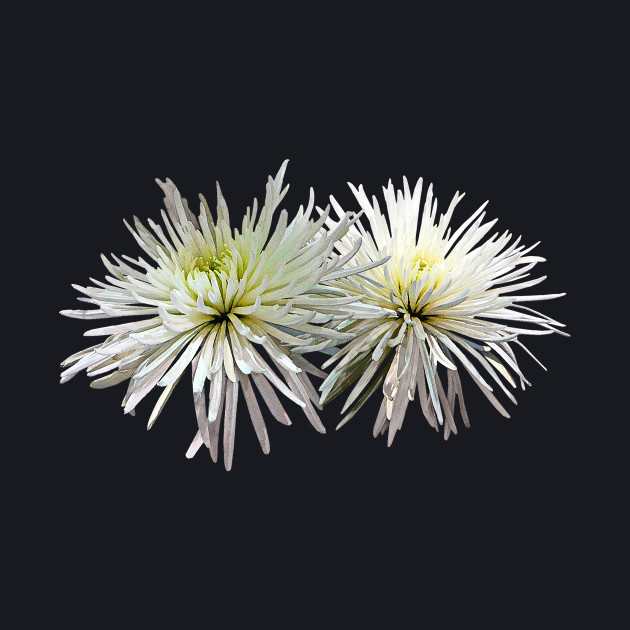 Two White Spider Mums