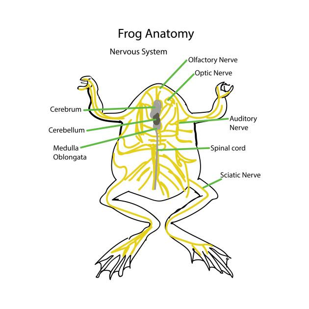 Frog Anatomy- Nervous System - Nervous - T-Shirt | TeePublic