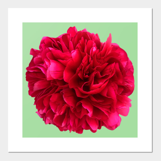 A Red Peony Flower on Mint Green Background