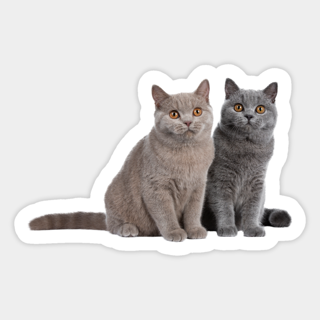 Lilac And Blue British Shorthair Cats British Shorthair Cat Sticker Teepublic