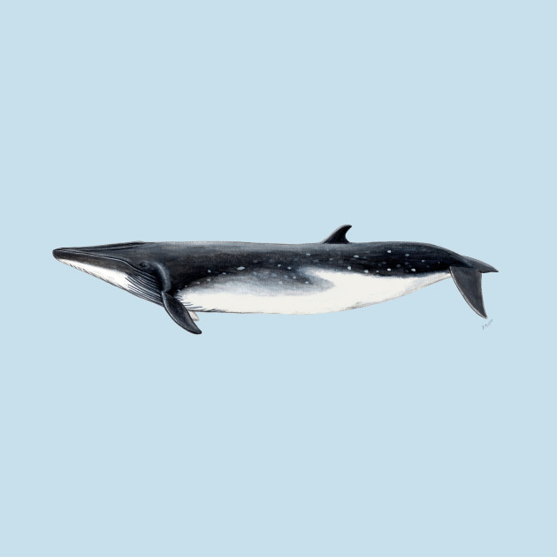 Bryde´s whale