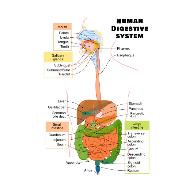 Diagram of the Human Digestive System - Digestion - Kids ...
