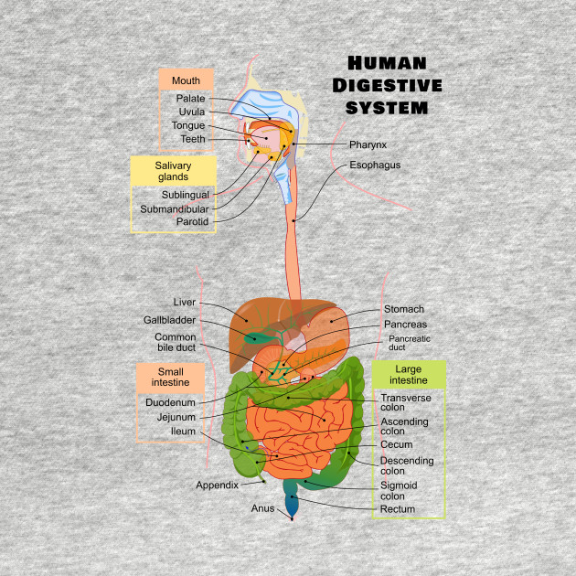 Gi Tract Diagram