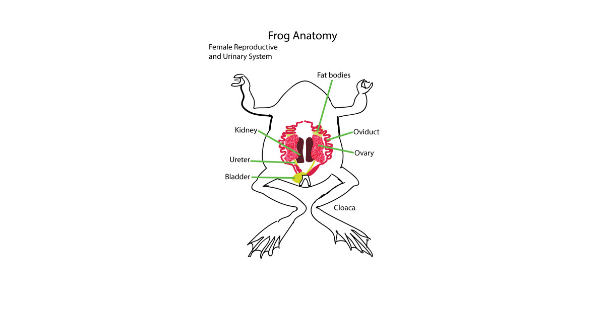Frog Anatomy-Reproductive System Female - Female - Kids T-Shirt ...