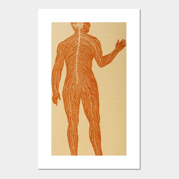 Vintage Human Nervous System Illustration (1887) - Human Biology ...