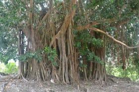 Bearded Tree on property