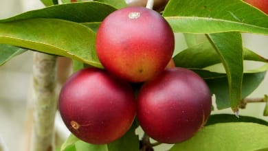 Photo of What is CAMU CAMU? Know All About CAMU Berry