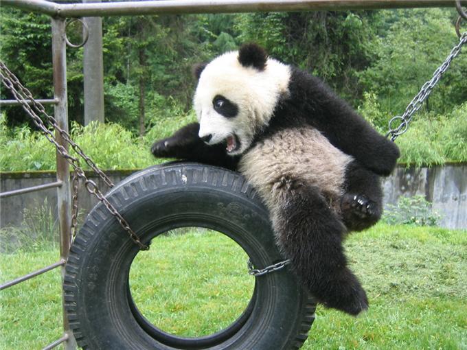 panda-7