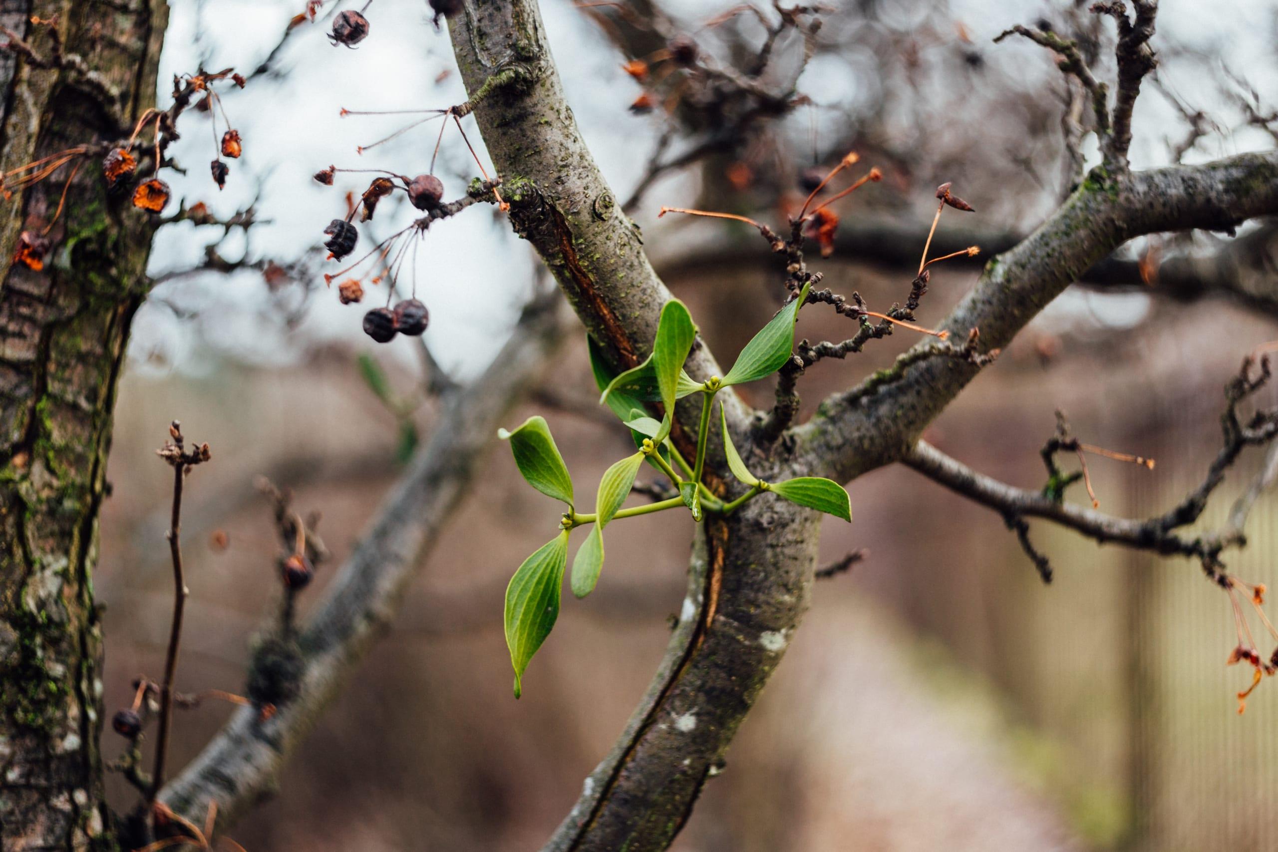 spring mistletoe