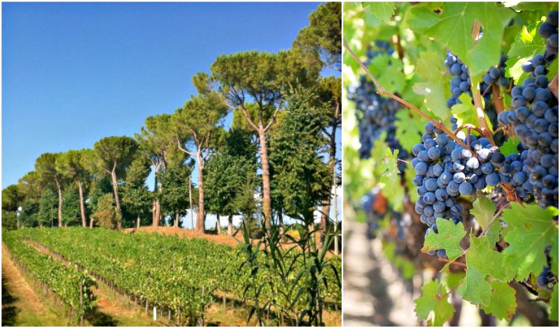 Vineyards & Grapes in Tuscany