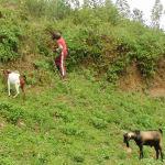 The Water Project: Shiamala Community, David Ashiona Spring -  Boy Herding Goats