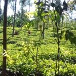 The Water Project: Mudete Community, Wadimbu Spring -  Tea Plantation