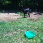 The Water Project: Mukhangu Community, Okumu Spring -  Cows Grazing At An Open Field