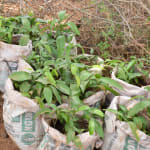 The Water Project: Maluvyu Community E -  Seedlings About To Be Planted